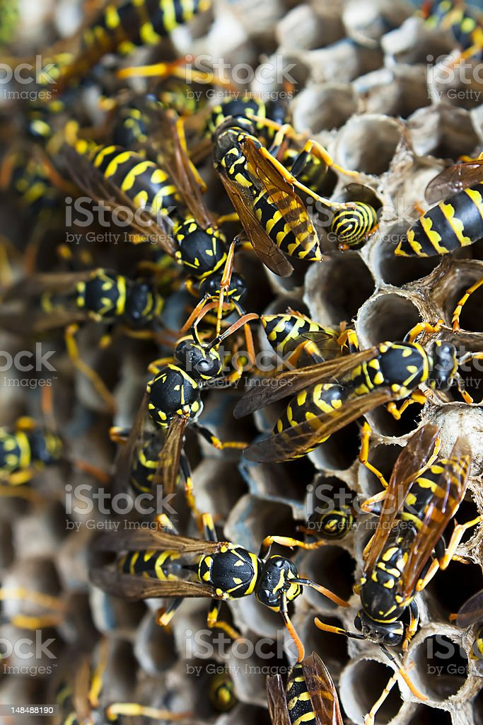 Wasps on a nest stock photo
