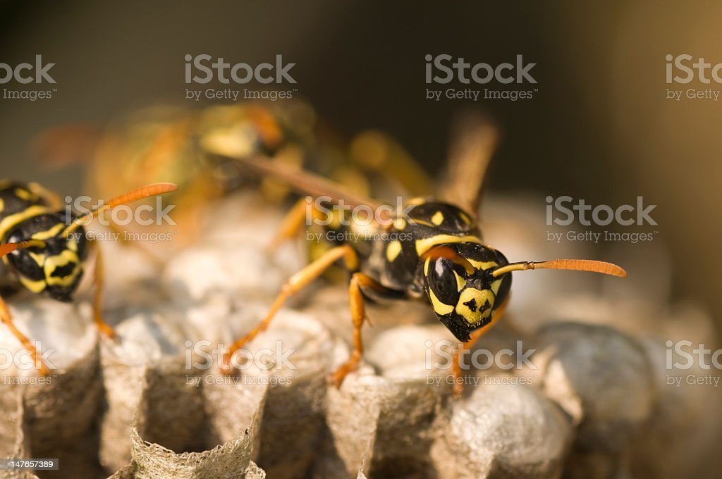 Wasps on wasp nest paper in close-up stock photo
