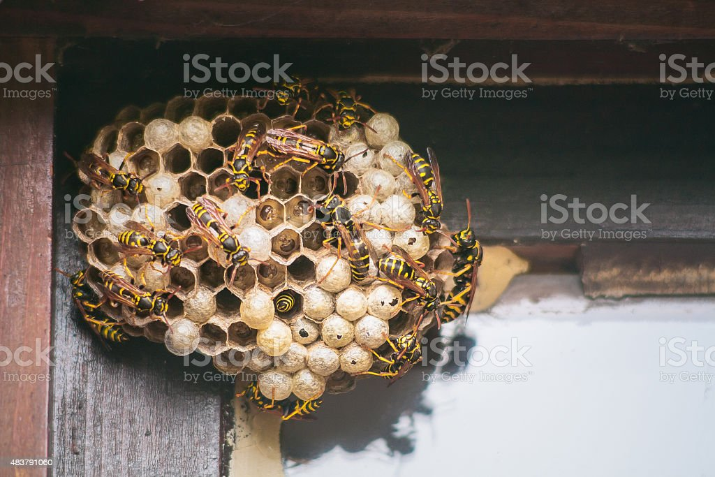 Wasps work on building their nest stock photo