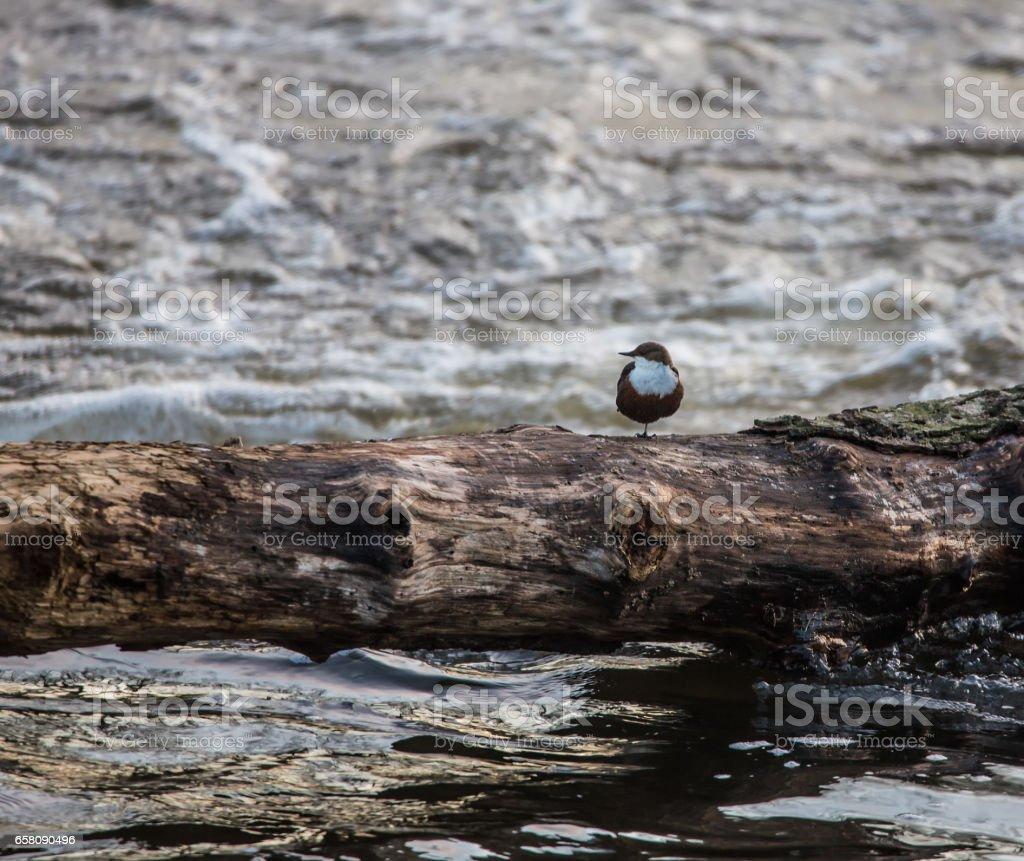 Wasseramsel (Dipper, sc. Cinclus cinclus) stock photo