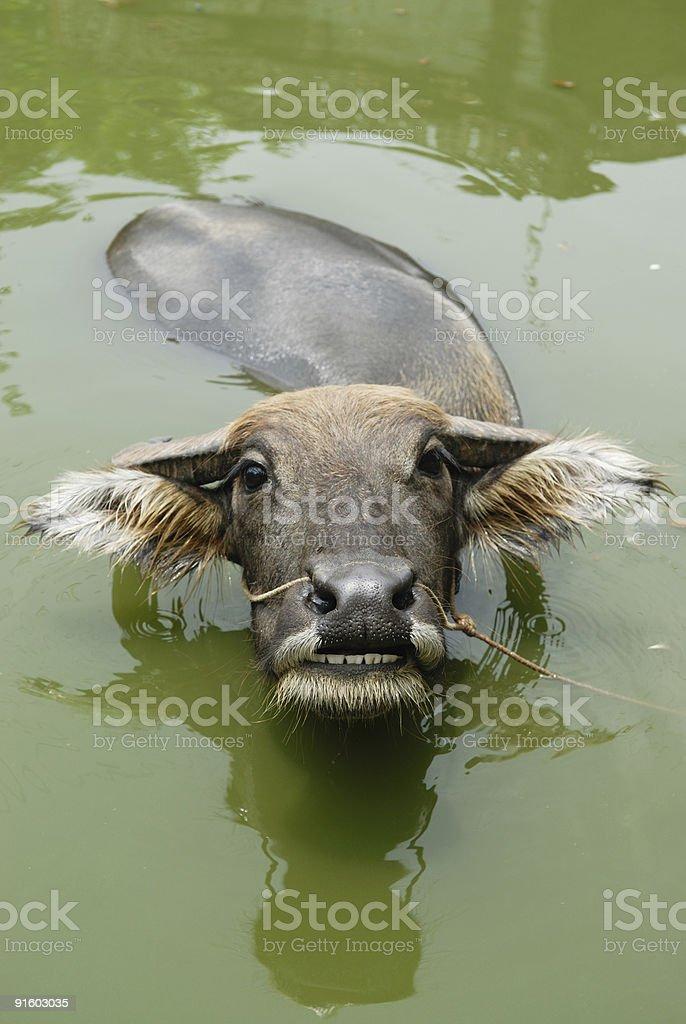 Wasserb?ffel stock photo