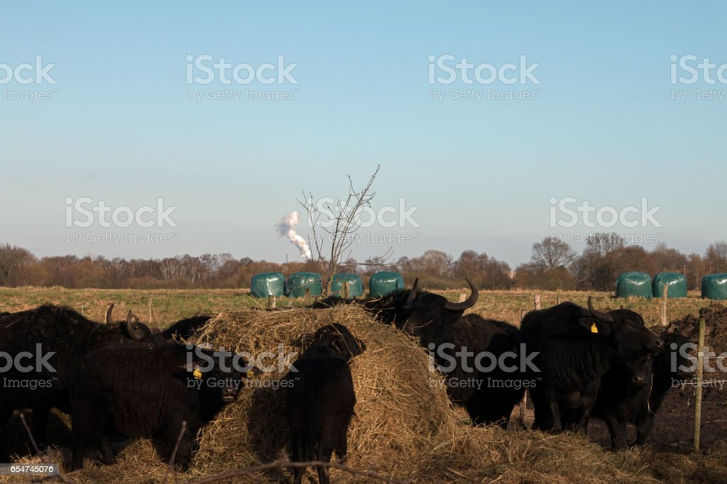 Wasserbüffelherde - Water buffalo herd stock photo