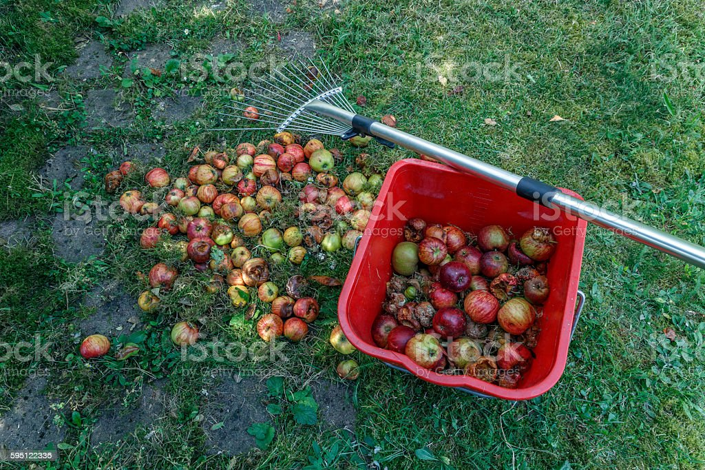 waste apples by worms stock photo