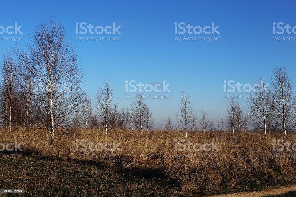 wastelands and small birchs royalty-free stock photo