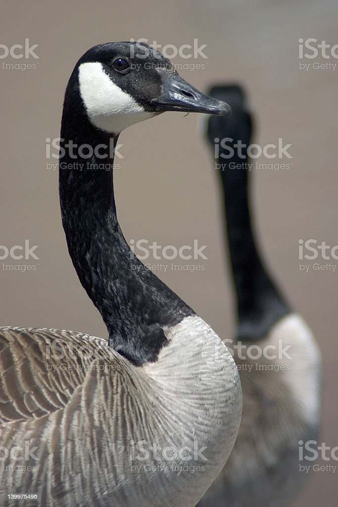 watchful canada geese royalty-free stock photo