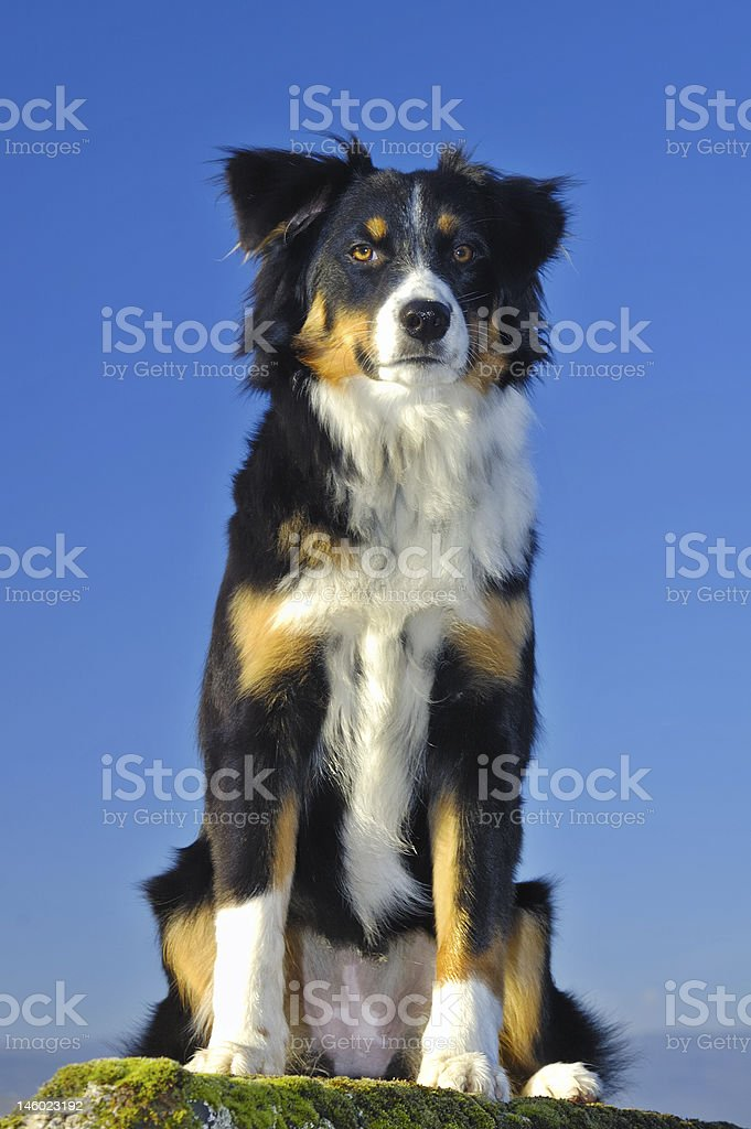 Watchful dog royalty-free stock photo