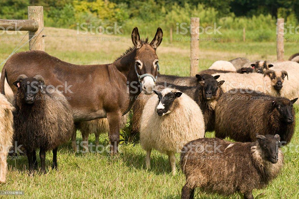 Watchful Donkey stock photo