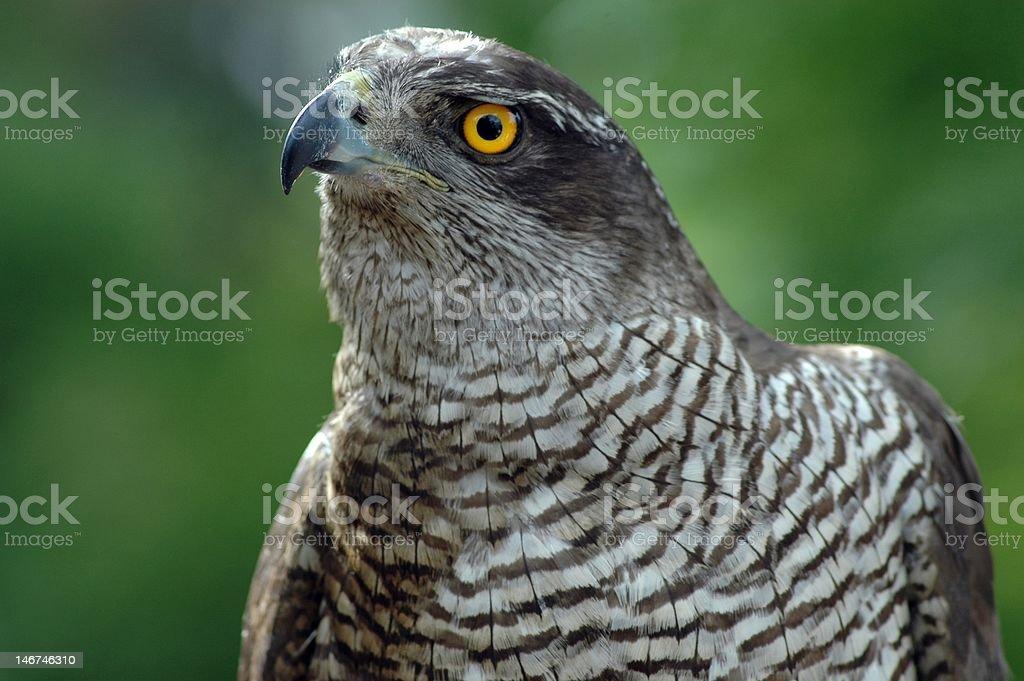 watchful hawk stock photo