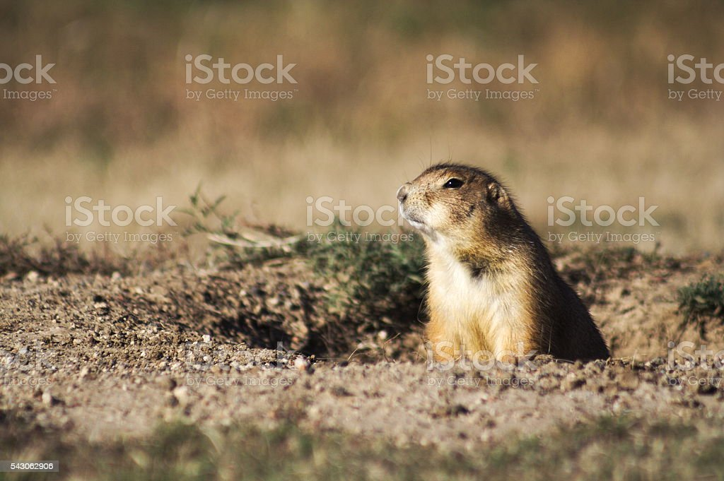 Watchful Prairie Dog stock photo