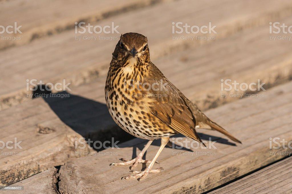 watchful song thrush stock photo