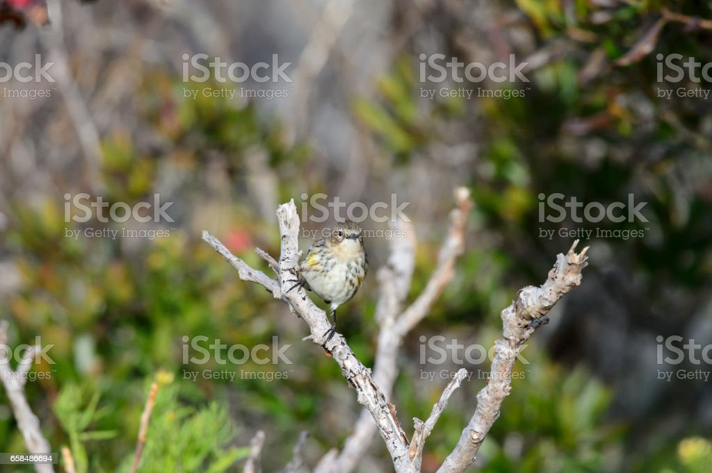 Watchful Yellow-rumped Warbler stock photo