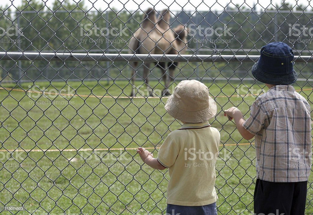 Watching a camel stock photo
