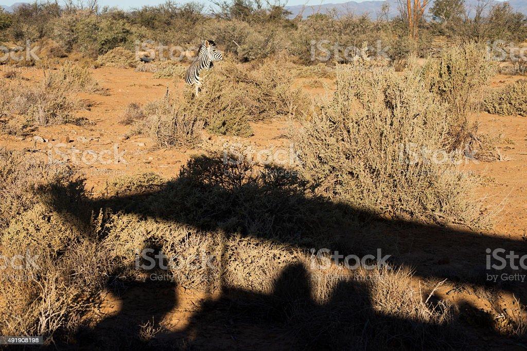 Watching a zebra on a safari game drive stock photo