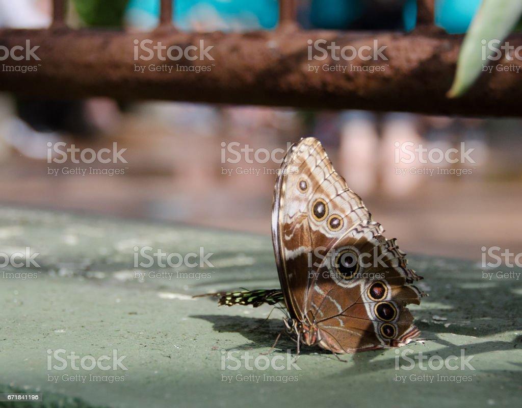 Watching giant owl butterflies in botanic garden in Scottsdale, Arizona stock photo