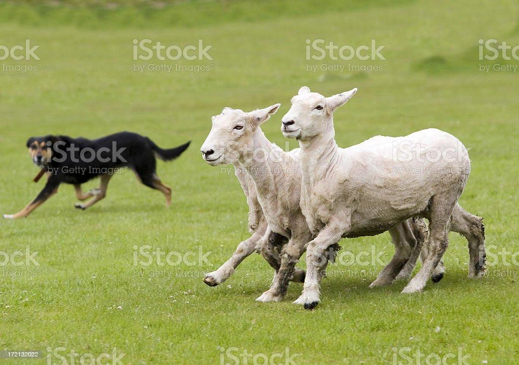 Watching his sheep royalty-free stock photo