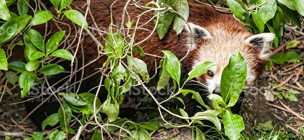 Watching red Panda stock photo