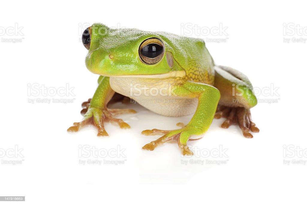 Watching tree frog stock photo
