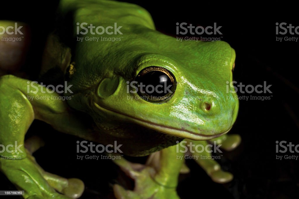 Watching tree frog royalty-free stock photo