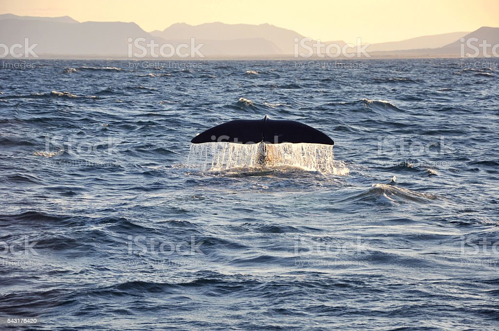 watching whale tail wildlife stock photo