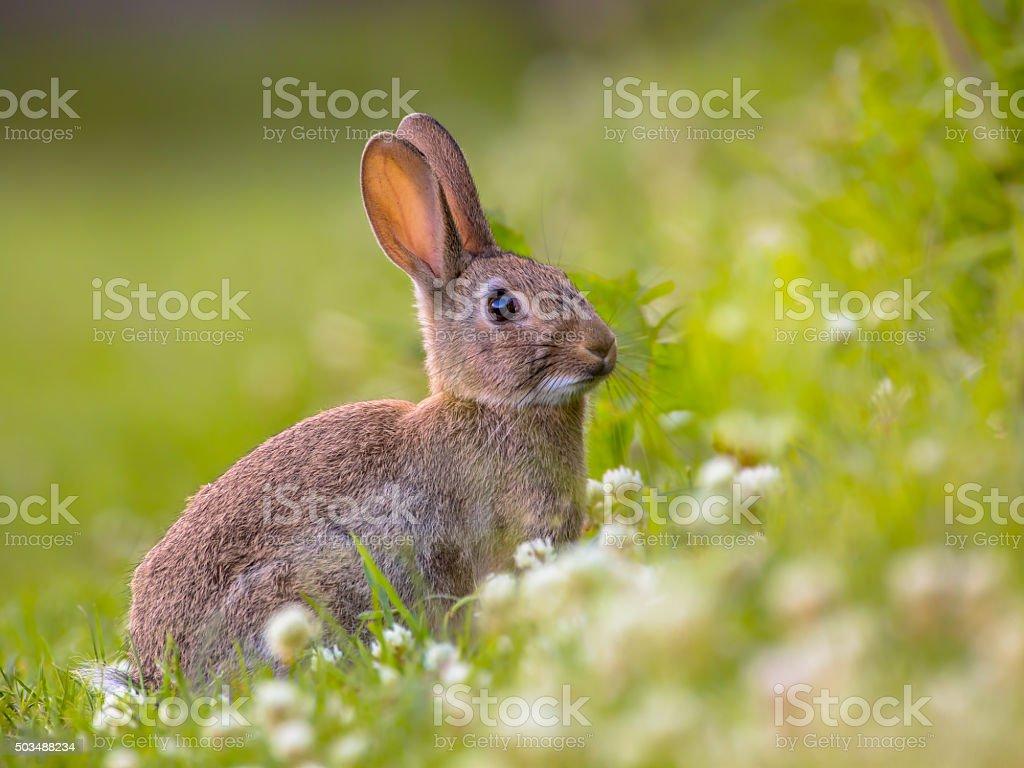 European Wild rabbit in lovely green vegetation surroundings with...