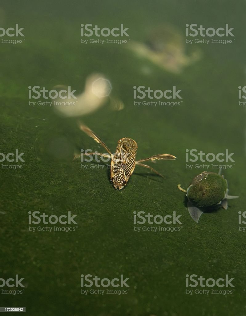 Water Boatman royalty-free stock photo