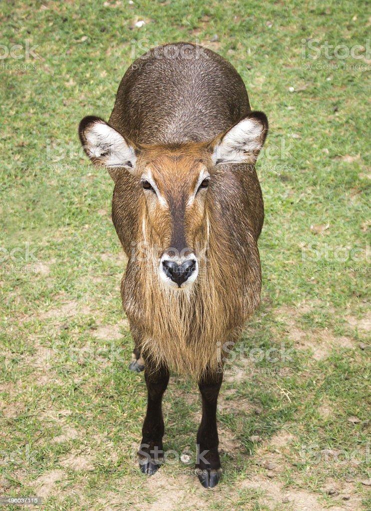 Water Buck i royalty-free stock photo