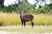 Water Buck, Murchison Falls National Park Safari Reserve