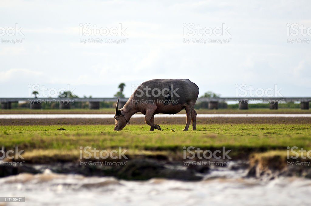 water buffalo eating grass in a field stock photo