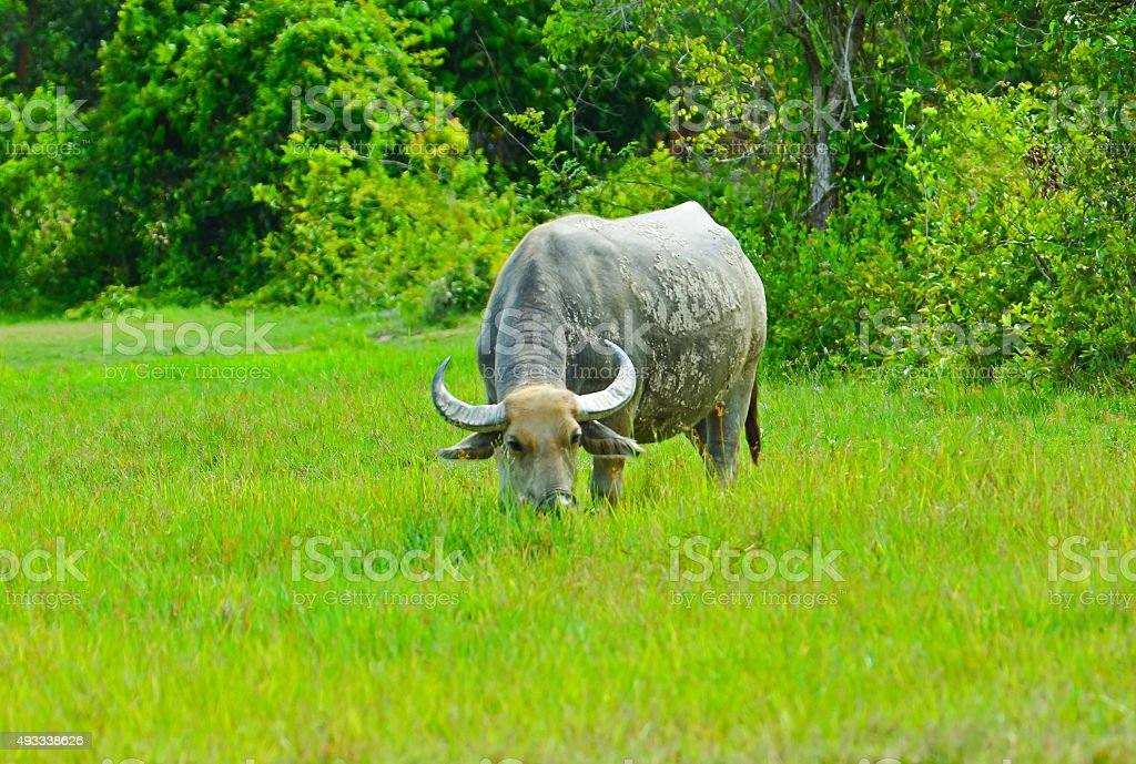 Water Buffalo Eating Grass in Green Field stock photo