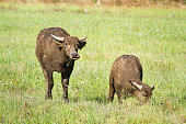 Water buffalo eating grass on meadow nature background.