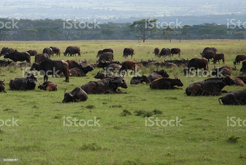 Water Buffalo Herd at Rest royalty-free stock photo