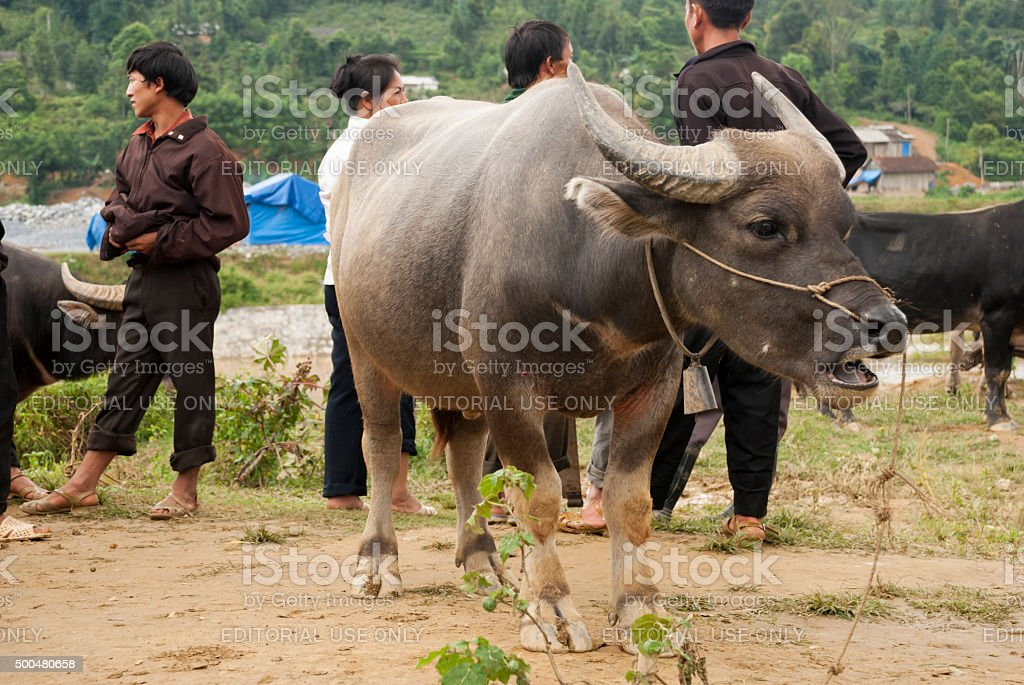 Water buffalo in Bach Ha, Vietnam stock photo
