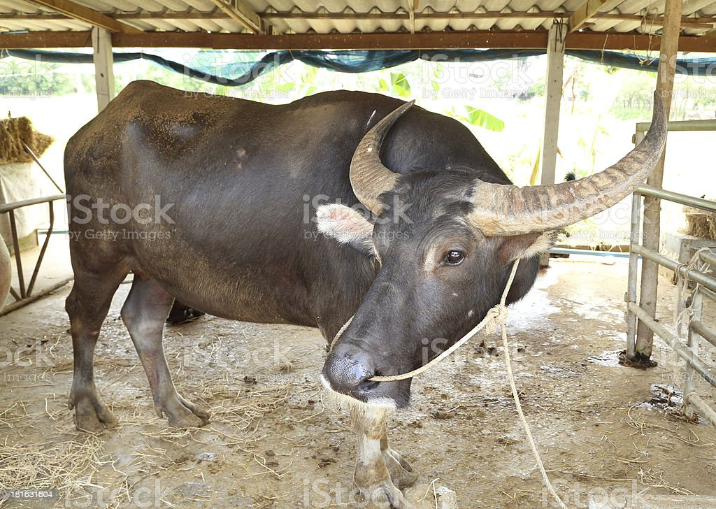 water buffalo in stables royalty-free stock photo