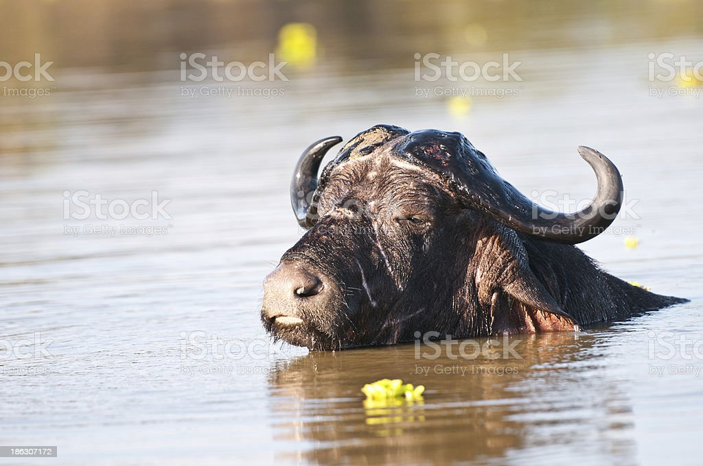 water buffalo in the lake stock photo