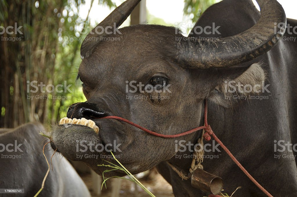 Water buffalo in the stables VIII royalty-free stock photo