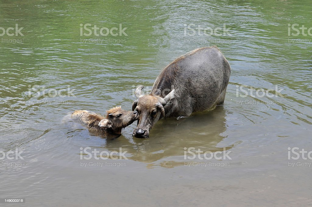 Water buffalo - Laos stock photo