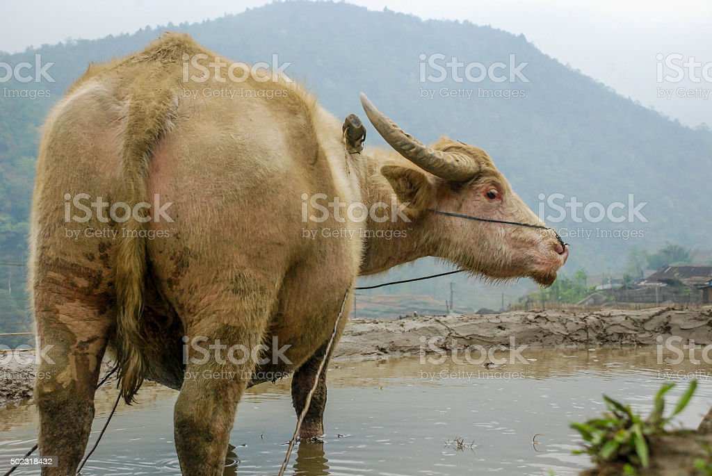 Water Buffalo on a rice field stock photo