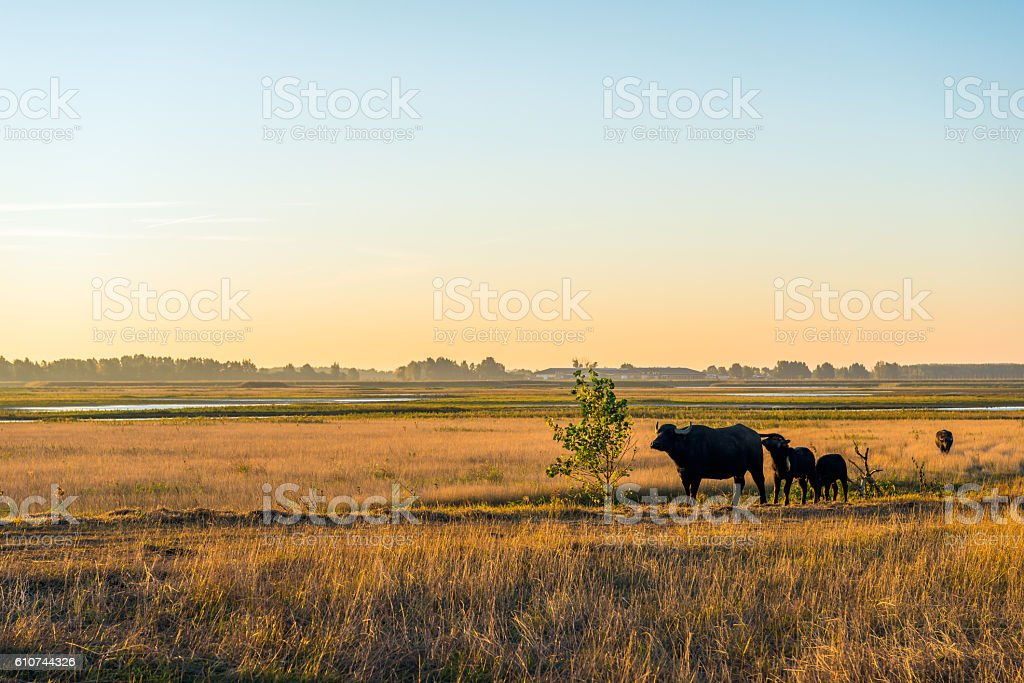 Water buffaloes graze in a large wet nature reserve stock photo