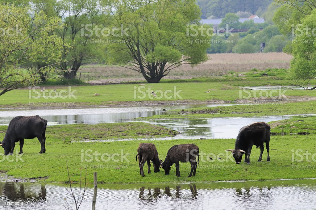 water buffalos stock photo