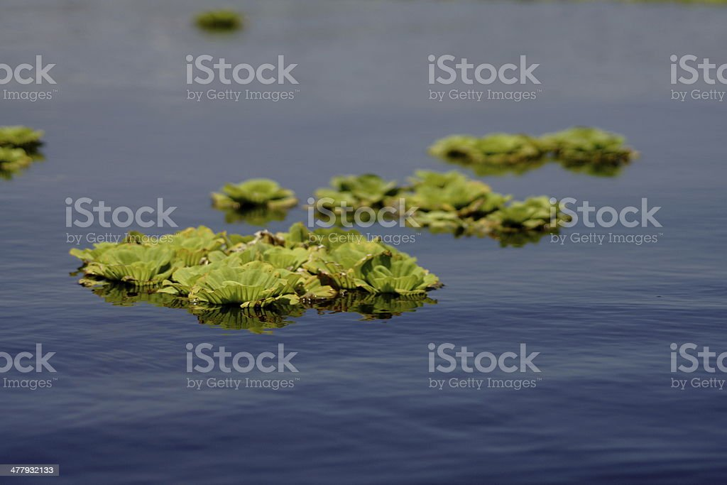 water cabbage floating on a still blue pond stock photo