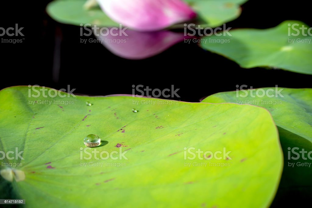 Water dew on lotus leaf stock photo
