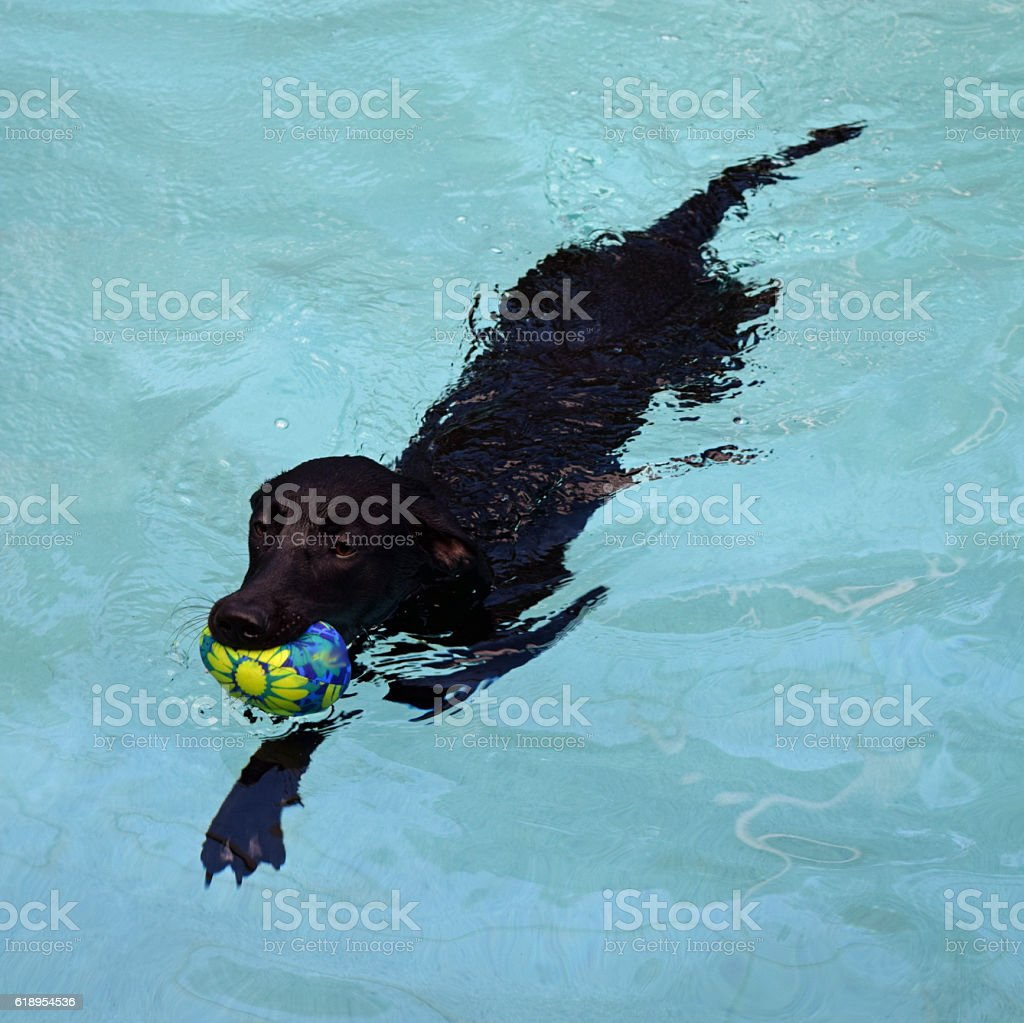 Water Dog Fetches Ball in Swimming Pool - Cropped stock photo
