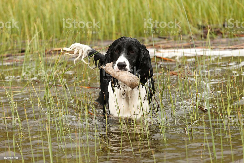 Water Dog Training royalty-free stock photo
