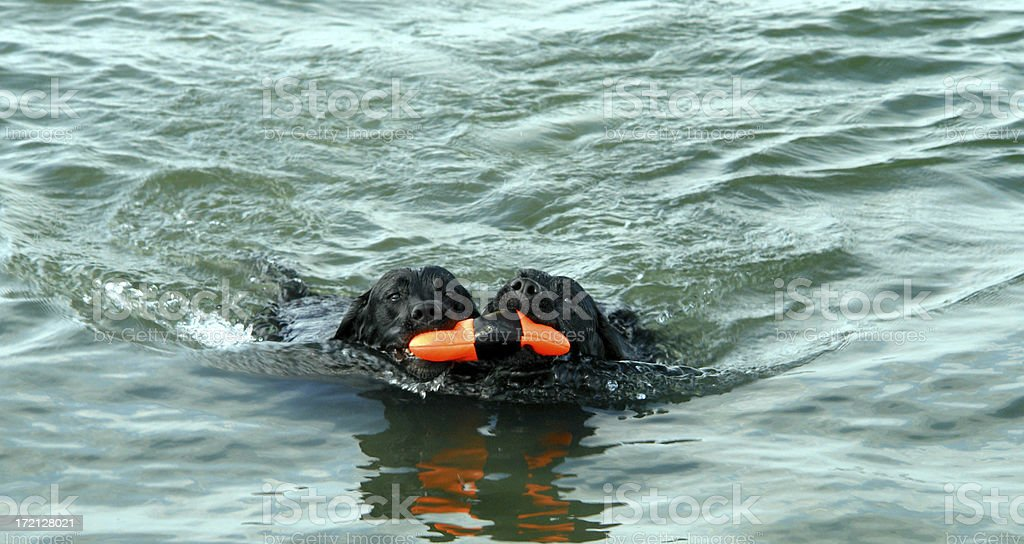 Water Dog Twins royalty-free stock photo