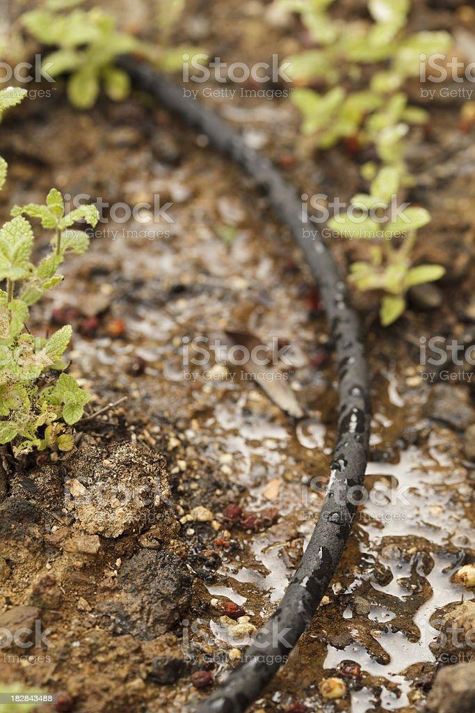Water drip system soaker (vert, shallow DOF) stock photo