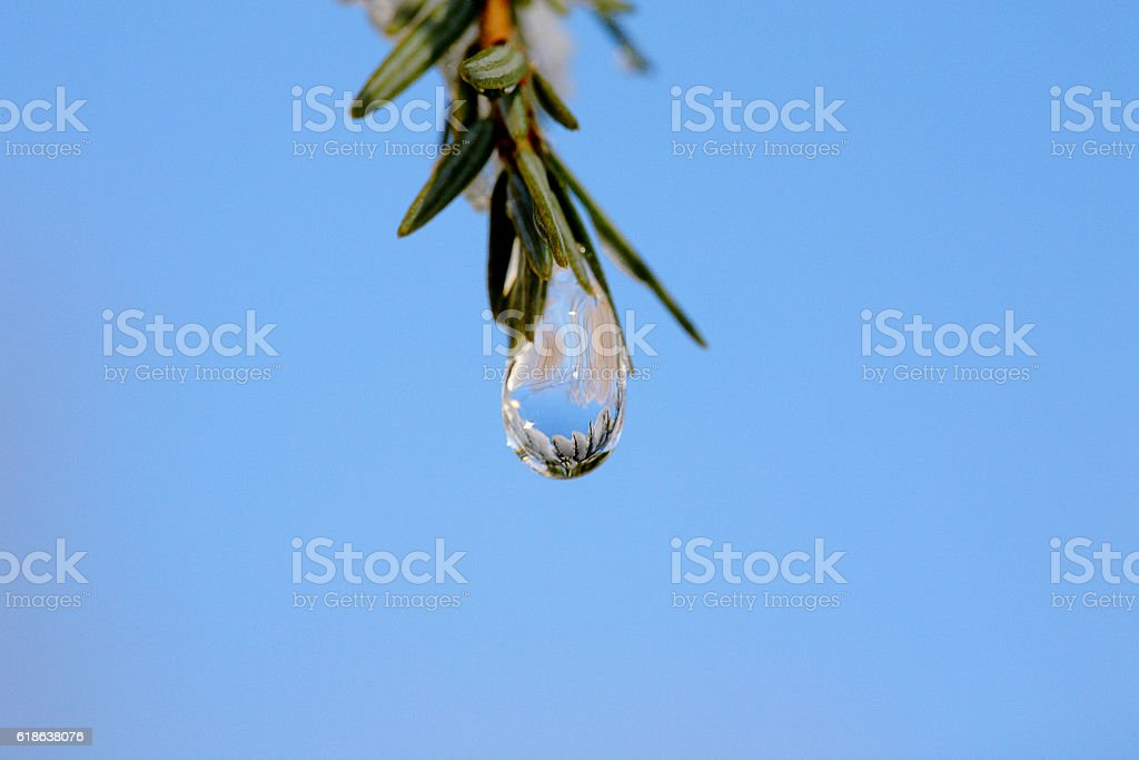 Water drop dangles from pine needles against a blue sky stock photo