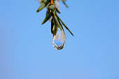 Water drop dangles from pine needles against a blue sky