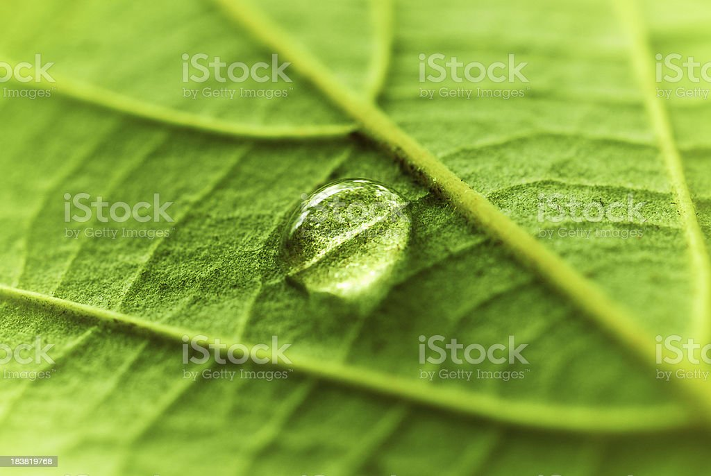 Water Drop on a fresh green leaf royalty-free stock photo