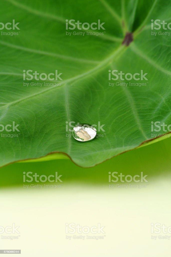 Water drop on a taro leaf stock photo