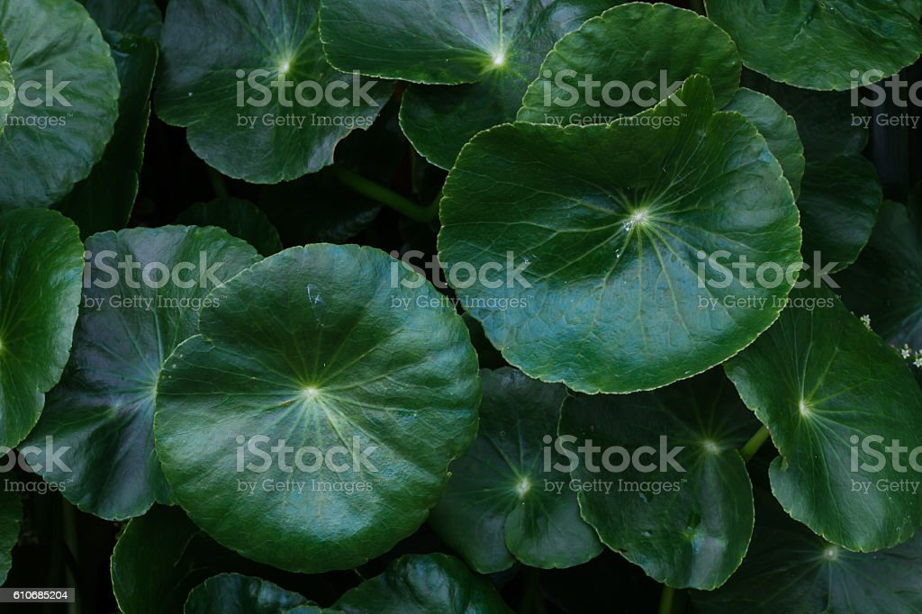 Water drop on Asiatic Pennywort,selection focus, low key. stock photo